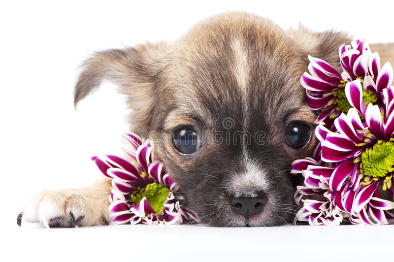 Cute chihuahua puppy among chrysanthemums flowers royalty free stock images