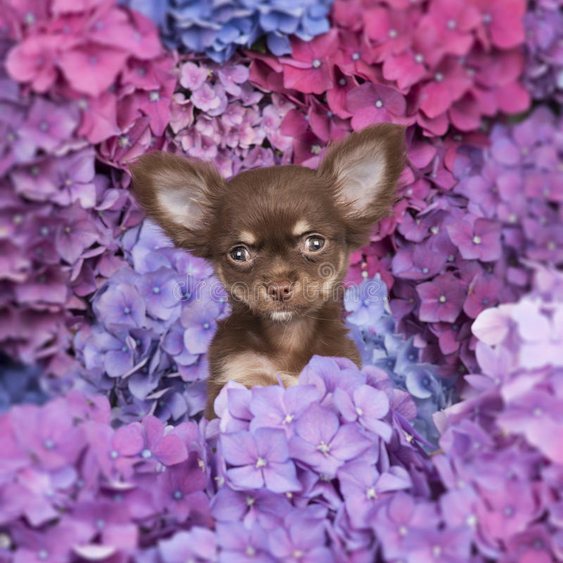 Cute chihuahua puppy dog between flowers stock photo