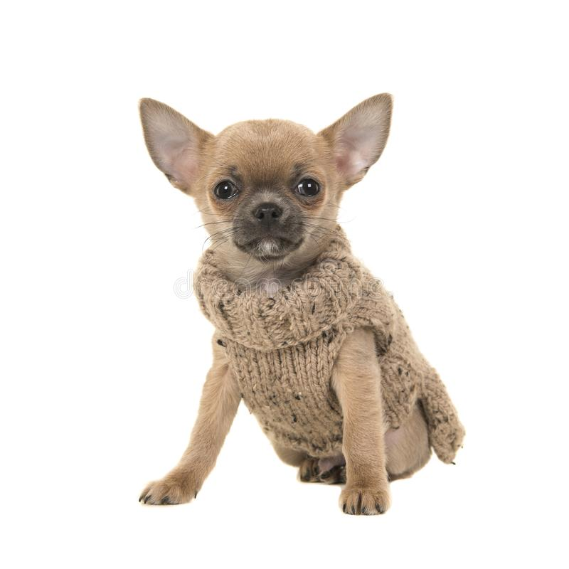 Cute chihuahua puppy dog sitting wearing a brown knitted sweater royalty free stock images