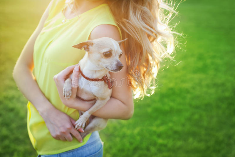 Cute chihuahua puppy dog sitting on a woman hands on a sunny day royalty free stock photography