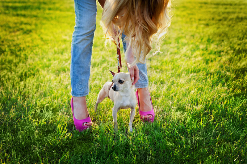 Cute chihuahua puppy dog with young glamour girl walking on green lawn on the sunset, fashion street style. People pets concept royalty free stock photo