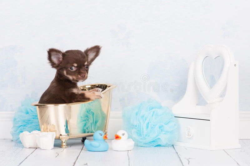 Cute chihuahua puppy in a golden bath stock photography