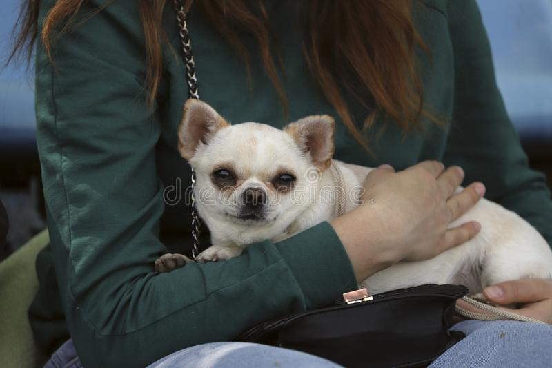 Cute chihuahua puppy in the hands of a girl. Cropped shot, horizontal, outdoors, side view. Pets concept royalty free stock photos
