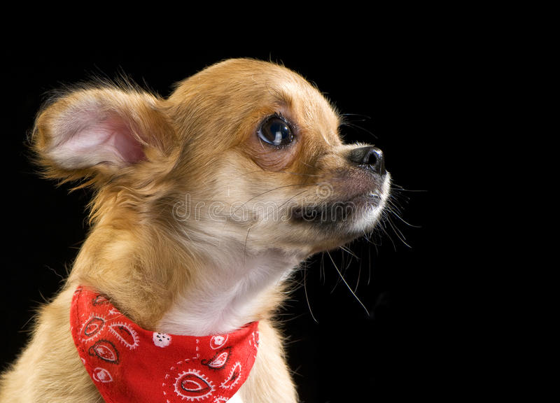 Cute chihuahua puppy with red bandana portrait. Chihuahua puppy with red bandana on black studio shot royalty free stock photo