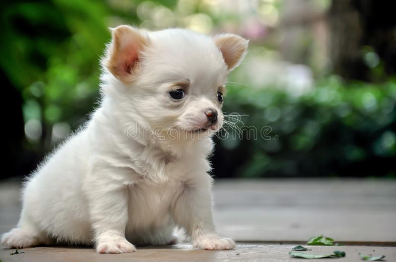 Cute chihuahua puppy sitting on ground royalty free stock images