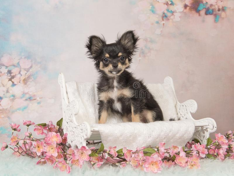 Cute Chihuahua puppy on a white doll bench on a pastel colored background stock photography