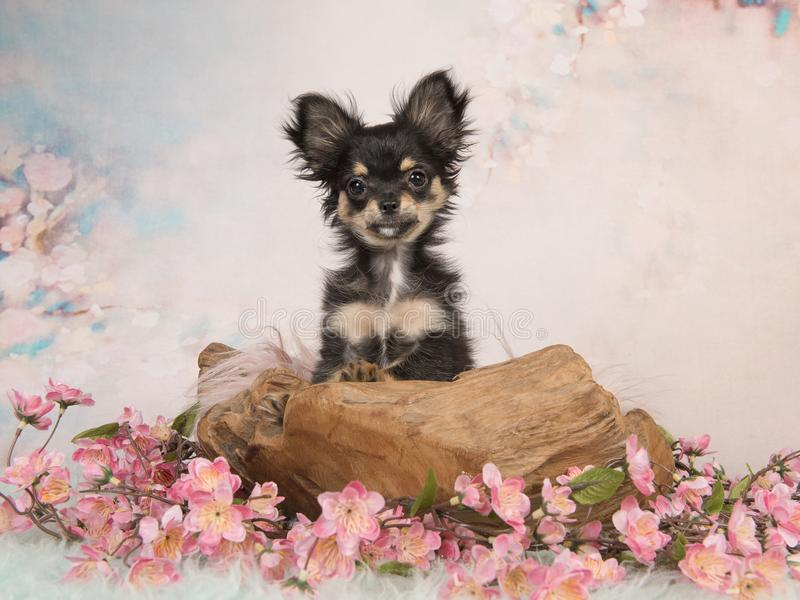 Cute chihuahua puppy in a wooden basket in a pastel colored flow royalty free stock images