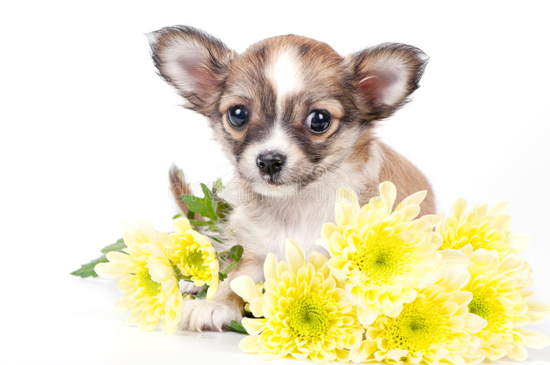 Cute chihuahua puppy with yellow flowers royalty free stock photos