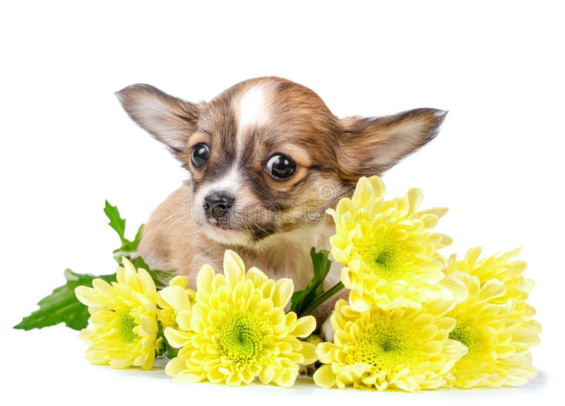 Cute chihuahua puppy with yellow flowers close-up isolated on white. Background royalty free stock photos