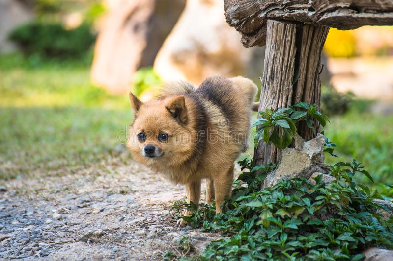 A cute chihuahua urinating on wooden table in home garden. chihuahua of urine in park on asphalt of dog, royalty free stock image