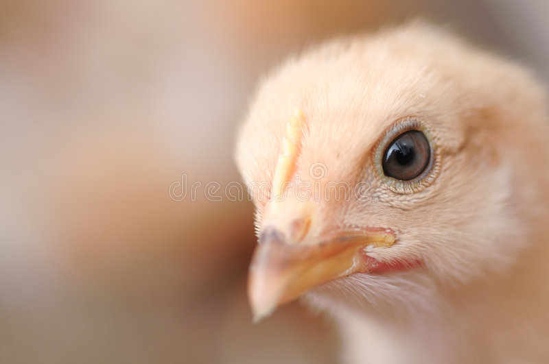 Download Cute chiken stock image. Image of lovely, yellow, close - 5635991