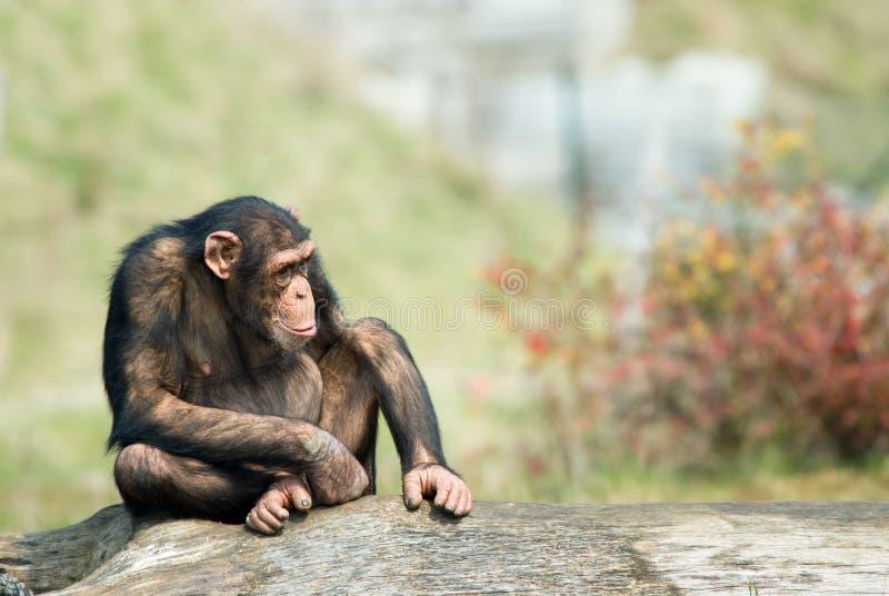 Cute chimpanzee. Close-up of a cute chimpanzee (Pan troglodytes stock photos
