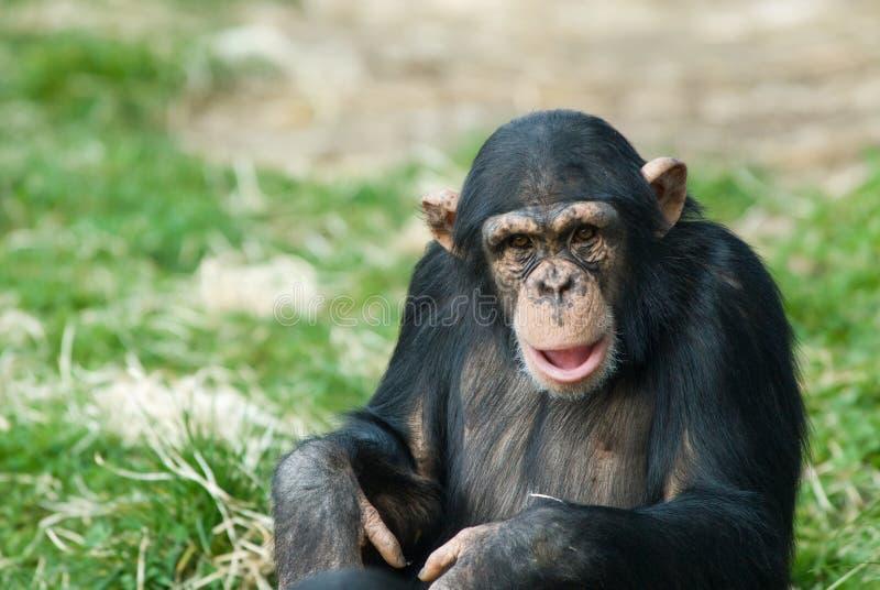 Cute chimpanzee. Close-up of a cute chimpanzee (Pan troglodytes stock image