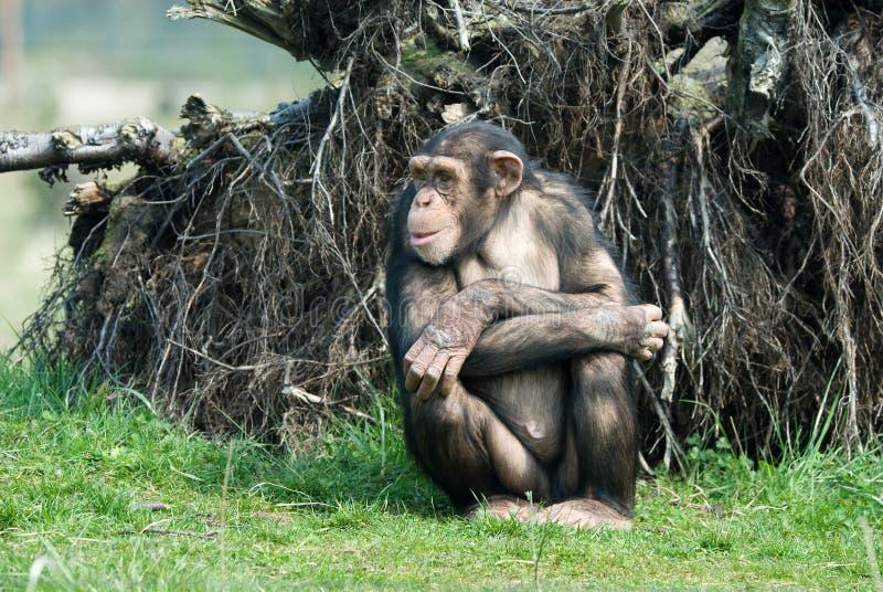 Cute chimpanzee. Close-up of a cute chimpanzee (Pan troglodytes royalty free stock photo