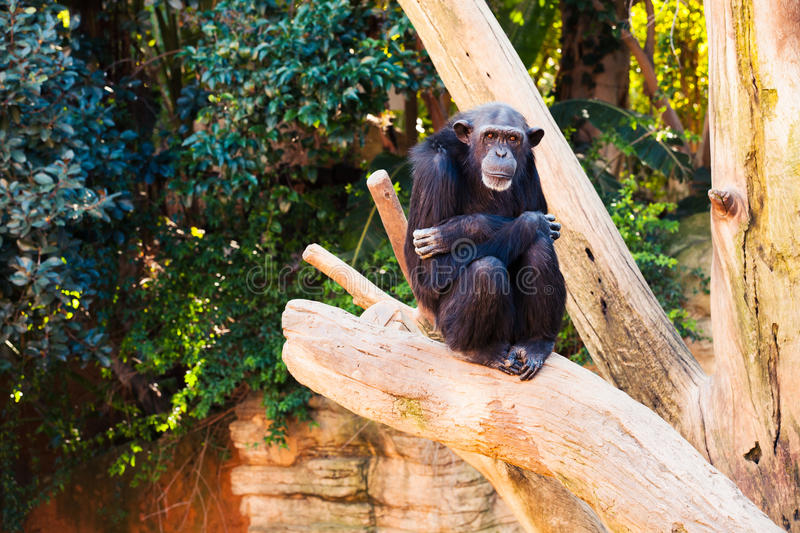 Cute chimpanzee sitting at a tree branch. Portrait of a chimpanzee with crossed arms royalty free stock photography