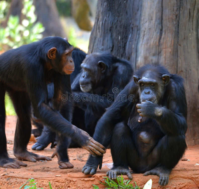 Cute Chimpanzee. At the zoo in thailand stock photography