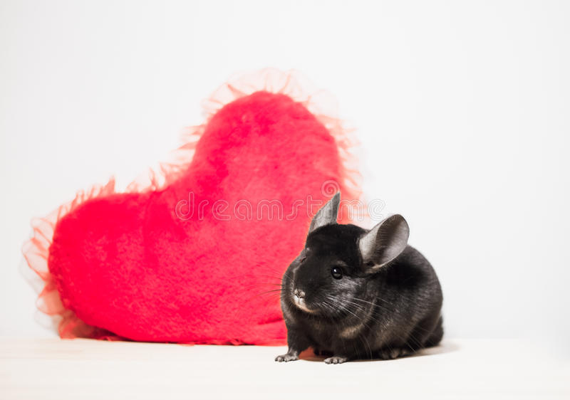 Cute chinchilla with red heart on white background royalty free stock image