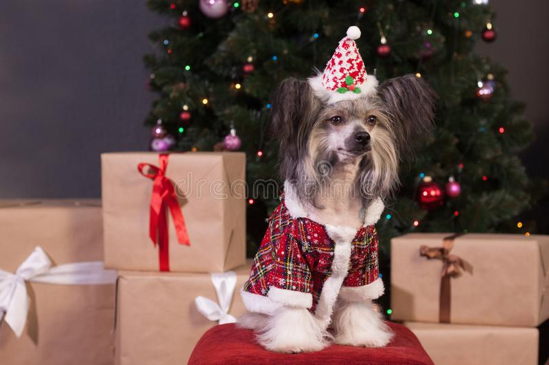Cute chinese crested dog is sitting near the new year`s gifts. Pet animals. Traditional holidays stock images