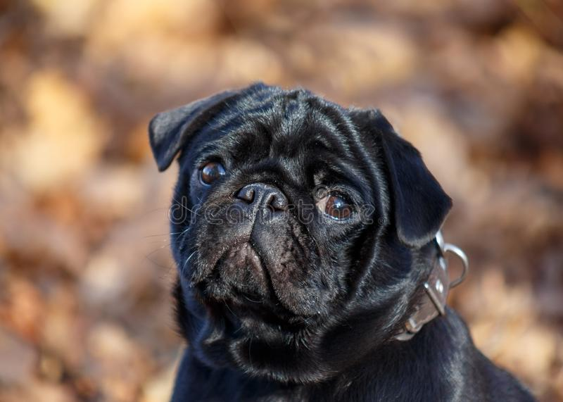 Cute chinese pug puppy close up . Dutch mastiff or mops. Pet animals. royalty free stock photo