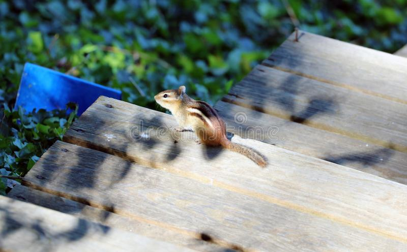 Cute chipmunk little squirrel looking for food royalty free stock photography