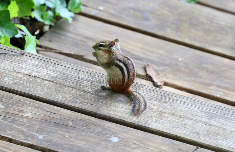 Cute chipmunk little squirrel looking for food stock photo