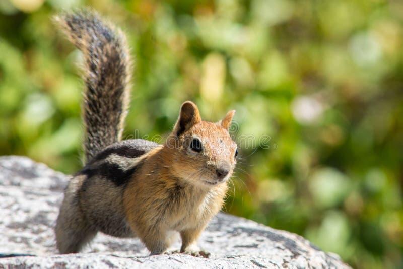 Cute Chipmunk on a rock at Lake Tahoe royalty free stock image