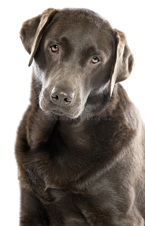 Cute Chocolate Labrador with Head Tilted. Shot of a Cute Chocolate Labrador with Head Tilted stock images