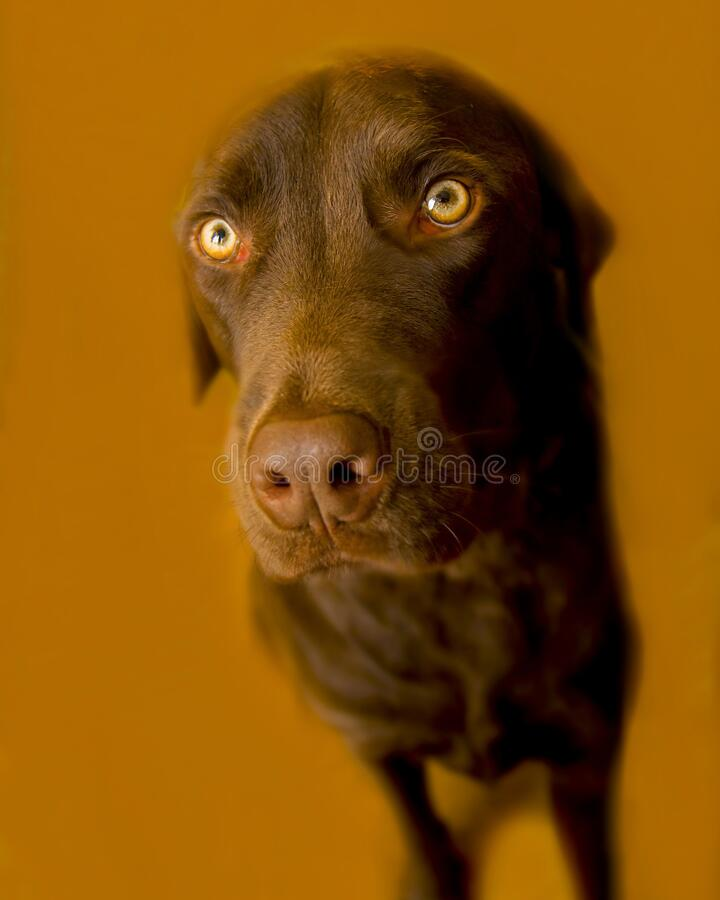 Cute Chocolate Labrador retriever against a brown background. Cute Chocolate Labrador retriever with large eyes looking forlorn and very sorry against a brown stock photos