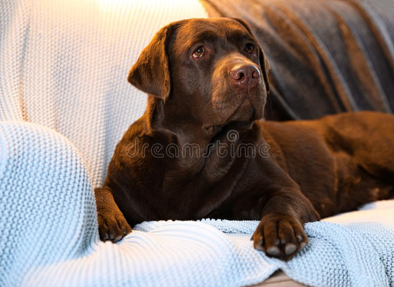 Cute chocolate Labrador retriever  on couch at home. Warm and cozy winter. Cute chocolate Labrador retriever lying on couch at home. Warm and cozy winter royalty free stock photography