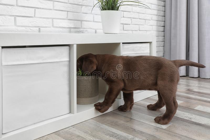 Cute chocolate Labrador Retriever puppy messing with furniture. At home stock photo