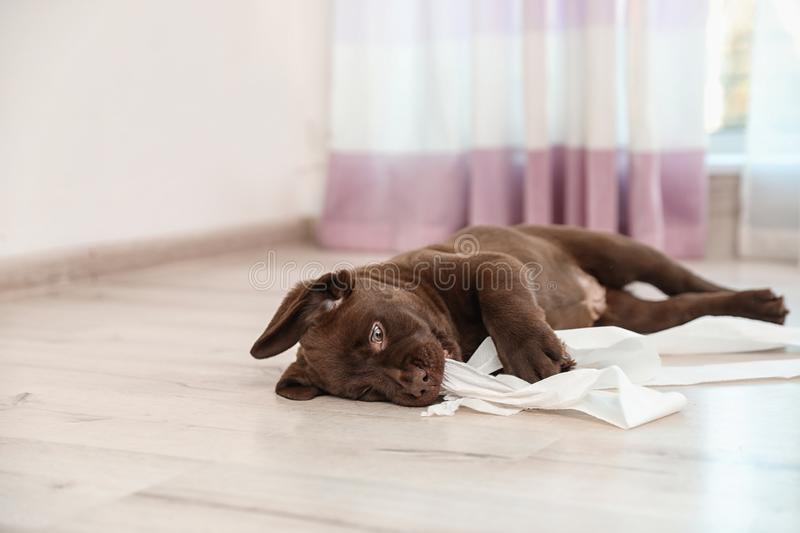 Cute chocolate Labrador Retriever puppy playing with torn paper on floor. Space for text. Cute chocolate Labrador Retriever puppy playing with torn paper on stock images
