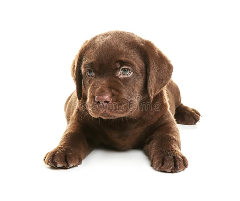 Chocolate Labrador Retriever puppy on white background royalty free stock photography