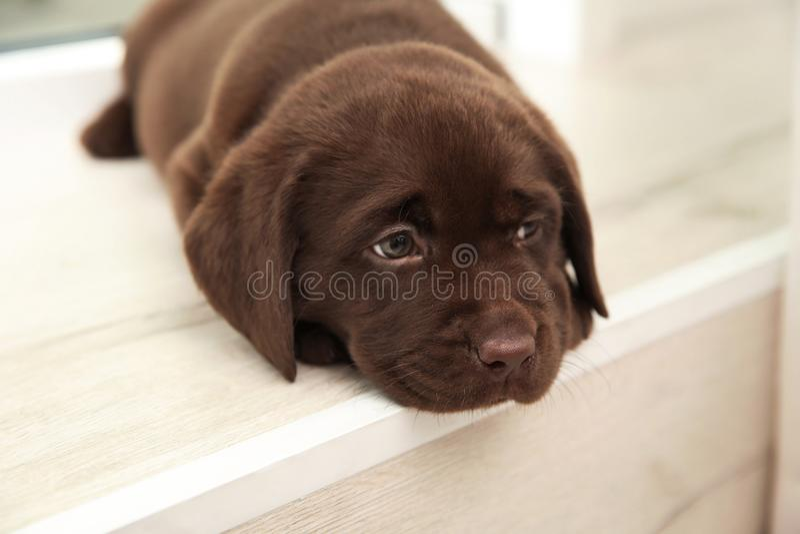 Chocolate Labrador Retriever puppy on window sill royalty free stock photo