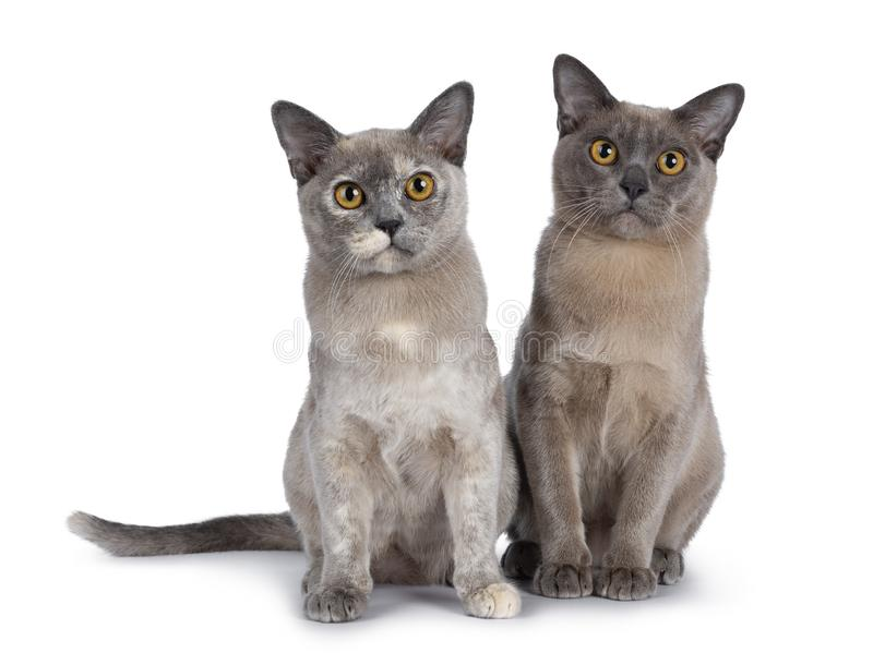 Cute chocolate and tortie Burmese cat kittens on white background stock image