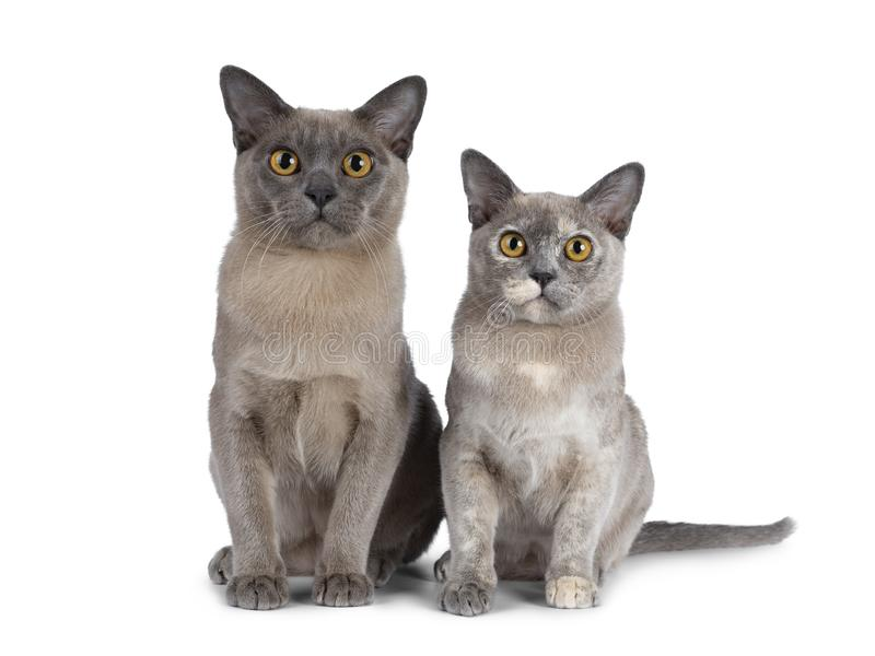 Cute chocolate and tortie Burmese cat kittens on white background. Cute chocolate and tortie Burmese cat kittens, sitting beside each other. Looking straight at royalty free stock photos