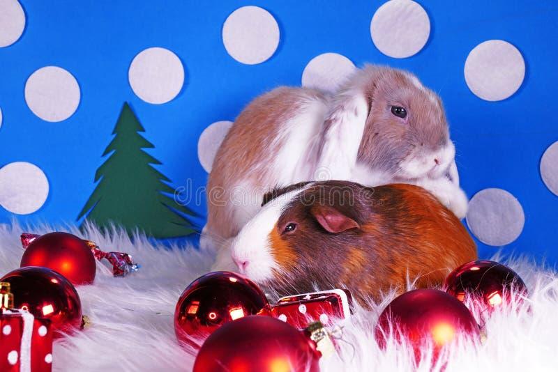 Cute christmas animals. Xmas pet animal guinea pig lop rabbit royalty free stock photo