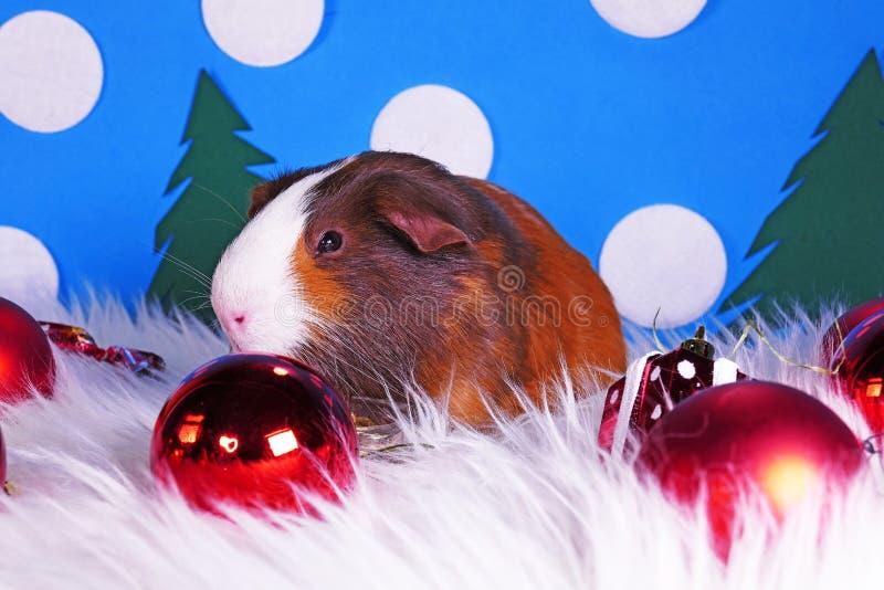 Cute christmas animals. Xmas pet animal guinea pig lop rabbit royalty free stock photos