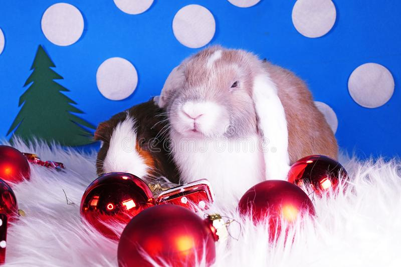 Cute christmas animals. Xmas pet animal guinea pig lop rabbit royalty free stock photography