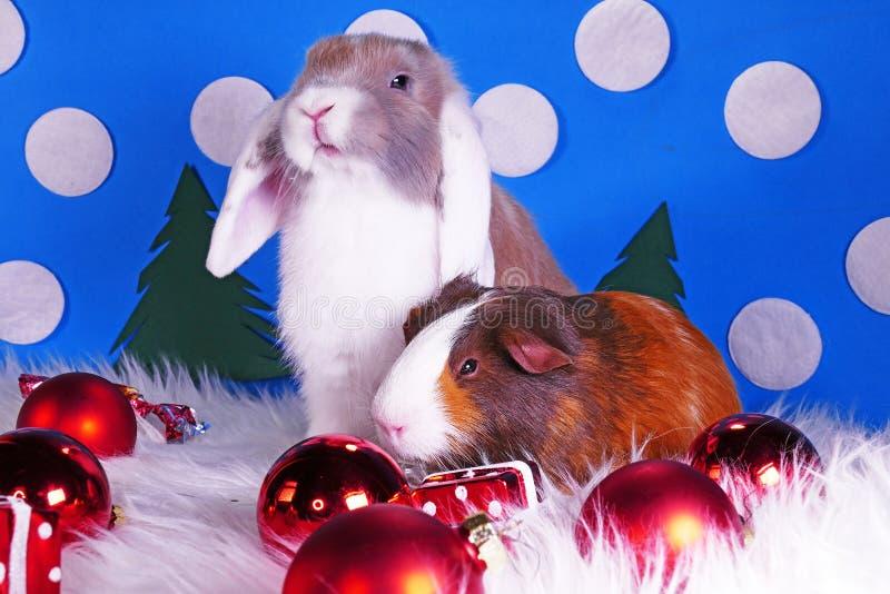 Cute christmas animals. Xmas pet animal guinea pig lop rabbit stock photo
