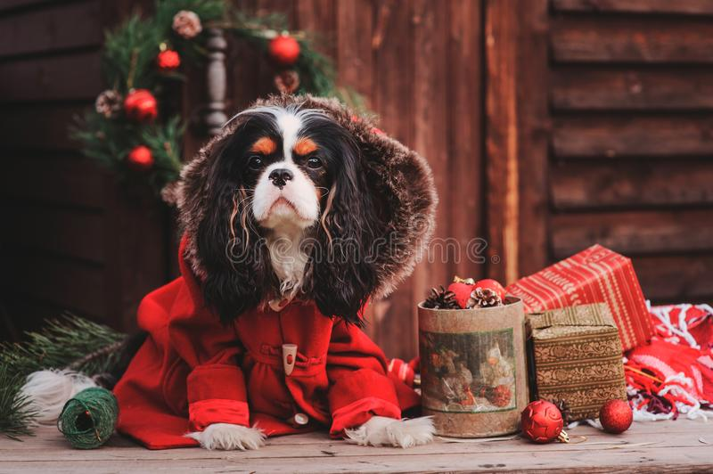 Cute Christmas dog with gifts and decorations on rustic wooden background. Cavalier king charles spaniel celebrating New Year 2018 royalty free stock image