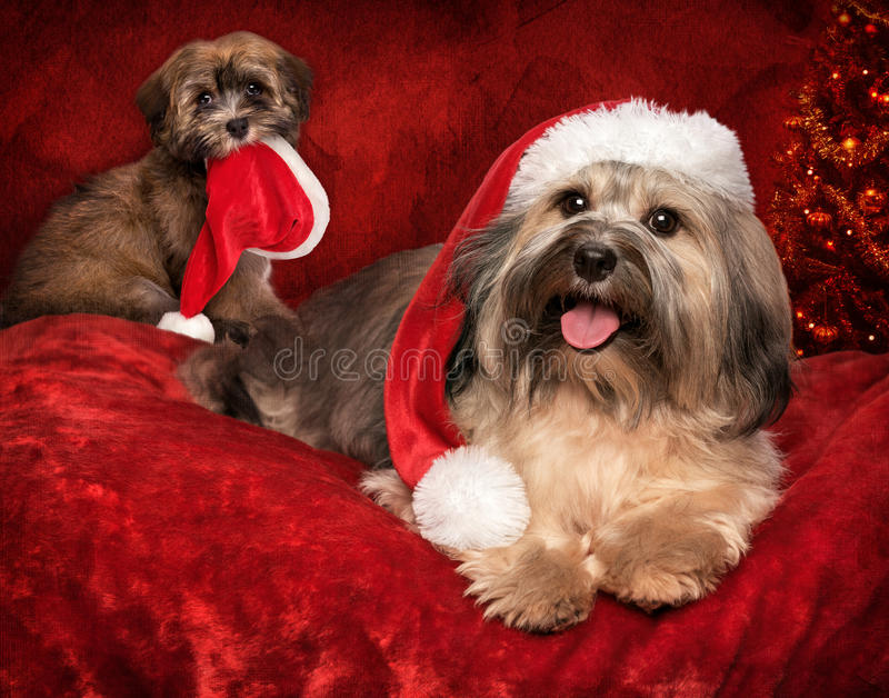 Cute Christmas Havanese dog and puppy on greeting card design royalty free stock photography