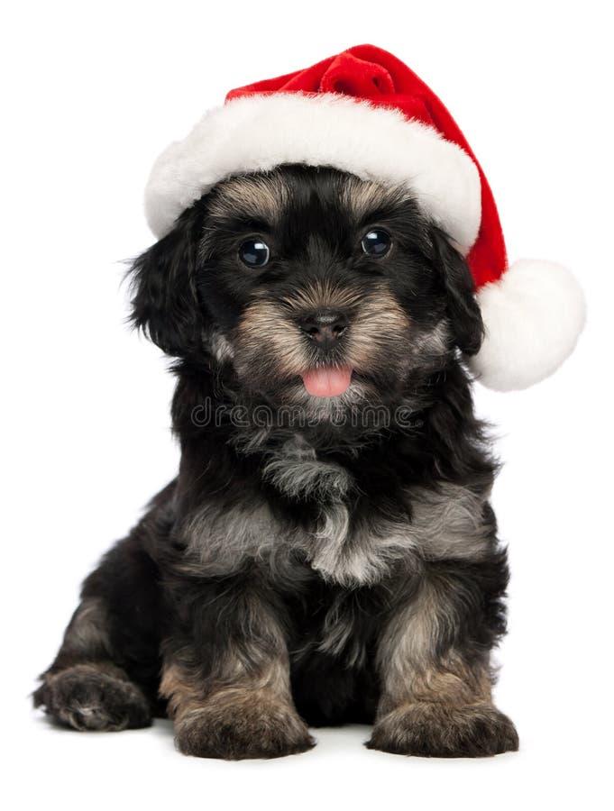 Cute Christmas havanese puppy dog stock photography