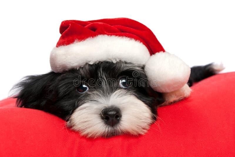 Cute Christmas havanese puppy dog stock photo