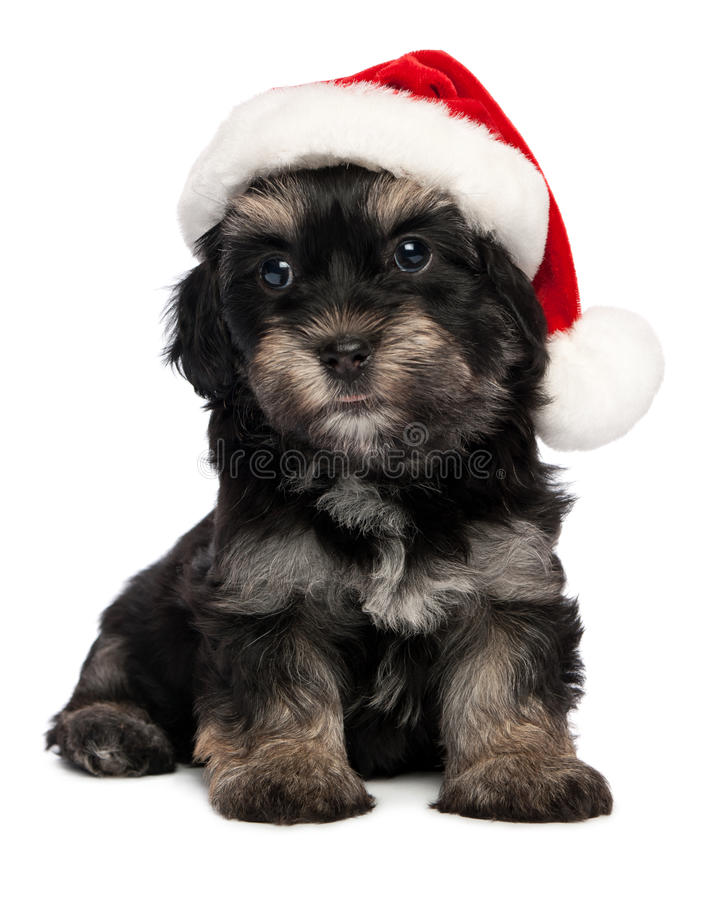 Cute Christmas havanese puppy dog stock images