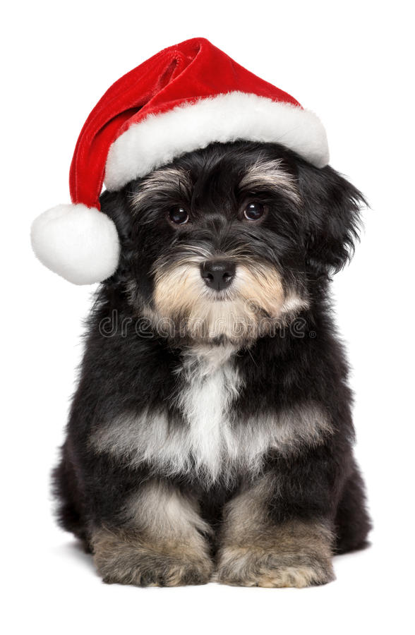 Cute Christmas Havanese puppy dog in a Santa hat royalty free stock images