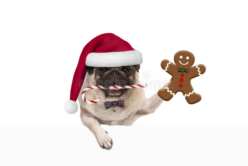 Cute Christmas pug dog with santa hat and candy cane, holding up gingerbread man cookie, hanging on white banner stock images