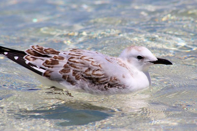 Baby Seagull Stock Images - Download 813 Royalty Free Photos