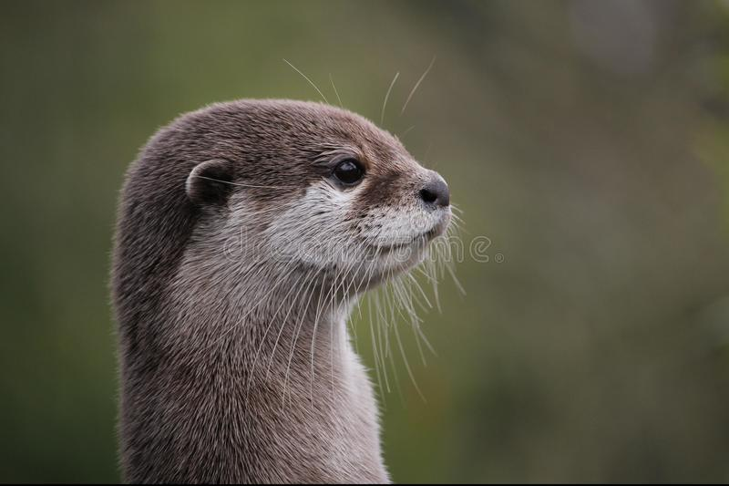 Cute close up portrait of an Asian or Oriental small clawed otter (Aonyx cinerea) with out of focus background. Cute close up portrait of an Asian or Oriental royalty free stock photos