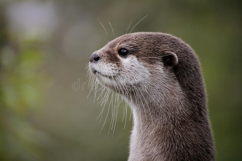 Cute close up portrait of an Asian or Oriental small clawed otter (Aonyx cinerea) with out of focus background royalty free stock photos