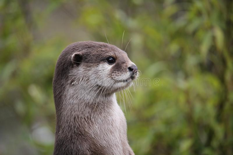 Cute close up portrait of an Asian or Oriental small clawed otter (Aonyx cinerea) with out of focus background royalty free stock photography